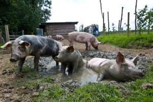 pig-in-mud